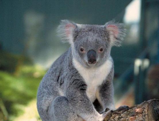 澳大利亚特产动物简笔画