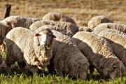 澳洲羊毛和中国羊毛的区别