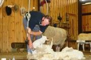 澳大利亚剪羊毛