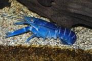 澳洲淡水龙虾