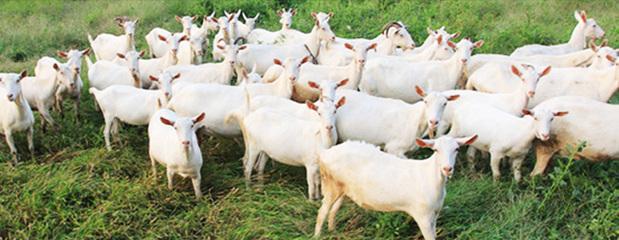 澳大利亚风景羊高清