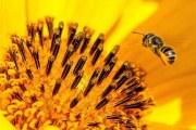 蜂花粉的副作用是什么 对身体有影响吗