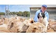 澳洲驼羊皮毛怎么清洗?