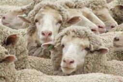 澳洲羊毛的产毛季节是什么时候?