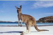 澳洲袋鼠皮制品都有哪些