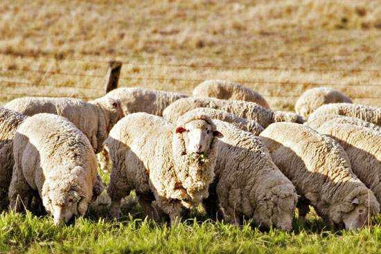 澳洲羊毛毯