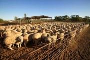 澳洲羊毛与美丽奴羊毛区别