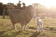 顶级澳洲纯羊毛指的是哪种?