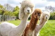 新西兰驼羊毛被价格估值