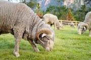美利奴羊毛和普通羊毛有什么区别?