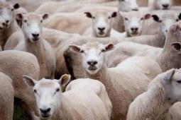 澳毛、羊毛、羊绒哪种面料的服装最高档?
