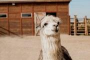 羊驼毛的保暖性能羊驼毛pk羊毛