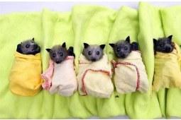 澳洲蝙蝠国境,这是谁的灾难