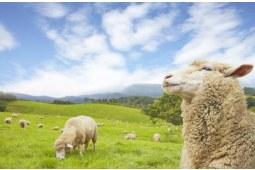 可瑞康山羊奶和绵羊奶的区别