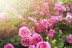 香水玫瑰:可食用的美容玫瑰花