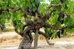 老藤葡萄酒究竟有多厉害 喝起来真的不一样! 上篇