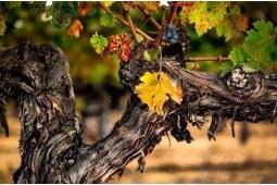 老藤葡萄酒究竟有多厉害 喝起来真的不一样! 下篇