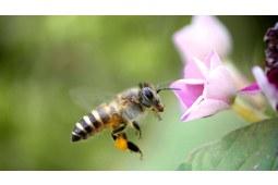 """眼前嗡嗡的蜜蜂也许是在向你述说它们的""""蜜闻"""""""
