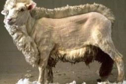 羊毛有毛用