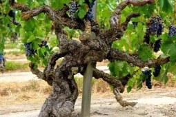 老藤葡萄酒吃香的秘密